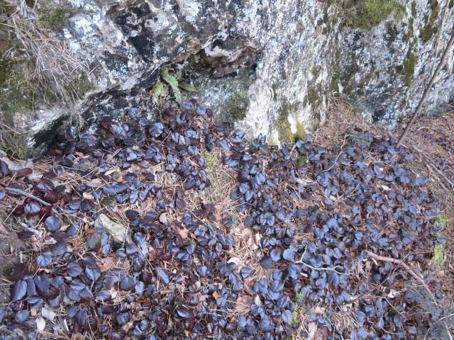 4.1イワカガミの葉.JPG