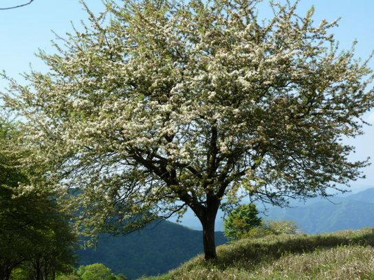 方塞山の木.JPG