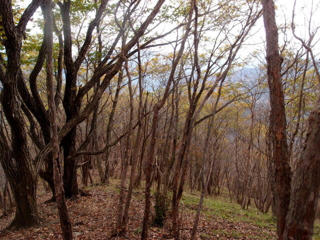 3.3リョウブの林.JPG